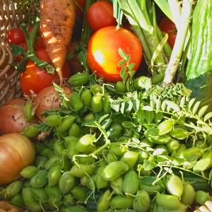 chickpea harvest