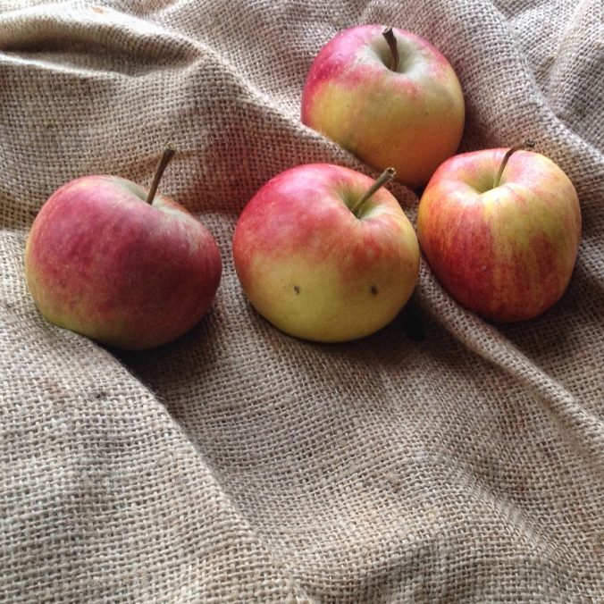 elstar apples harvested