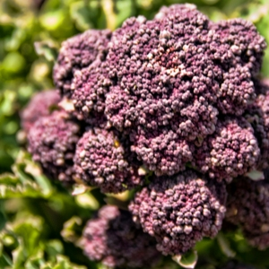 purple sprouting broccoli growing