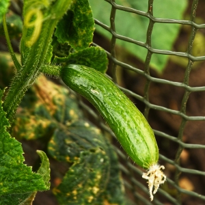 cucumber growing