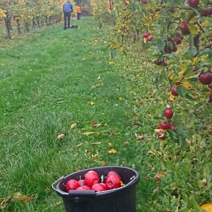 collecting apples