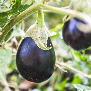 aubergine growing